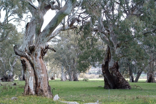 River red gum 3