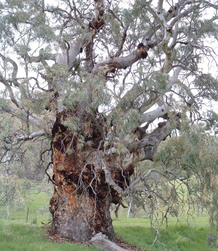 River red gum 5
