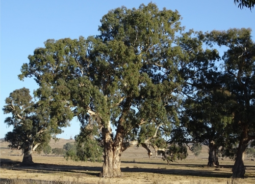 River red gum 1